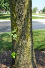 Signs and Symptoms Of Emerald Ash Borer - Sprouts