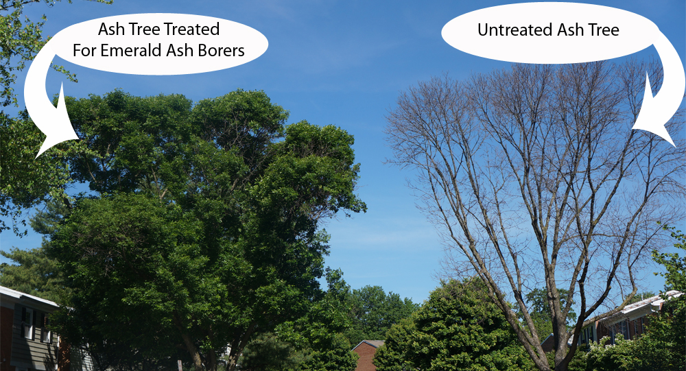 Emerald Ash Borer Treatment before and after